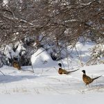 Predator Hunting game birds