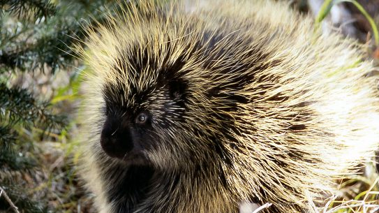 Cooking Porcupine: Porcupine, quills, catching one