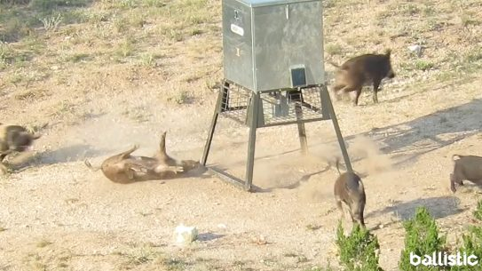 Long-Distance Hog Hunting, Texas Hunting, Beast Master Hunting