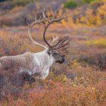 Caribou, hunting