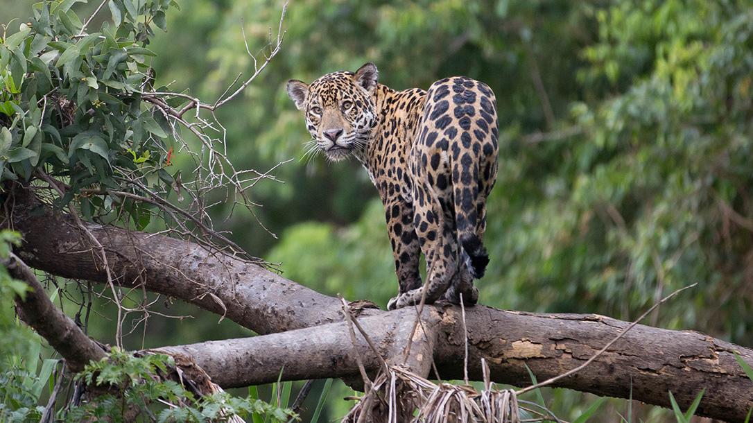 Jaguar, hunting