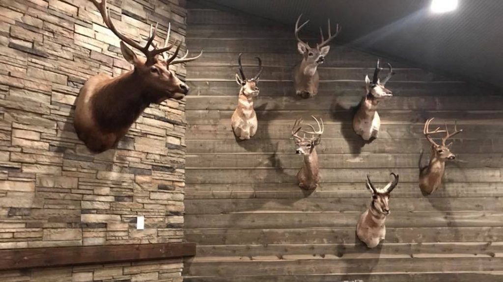 Trophy mounts adorn the raw-lumber walls and other areas of High Bar Homestead, for a warm, inviting feel.